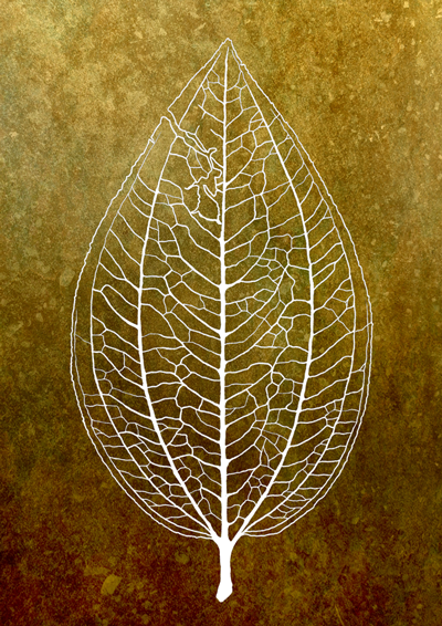 a botanical drawing of a leaf