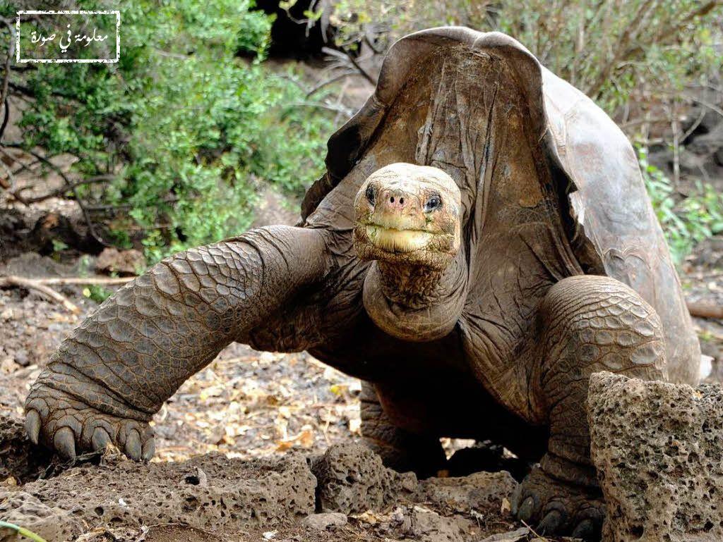 سلحفاة جزيرة بينتا هي نوع فرعي من سلاحف جزر غالاباغوس كانت أندر كائن موجود على سطح الأرض بوجود حيوان ذكر واحد منها فقط وكان يدعى Animals Photo Lion Sculpture