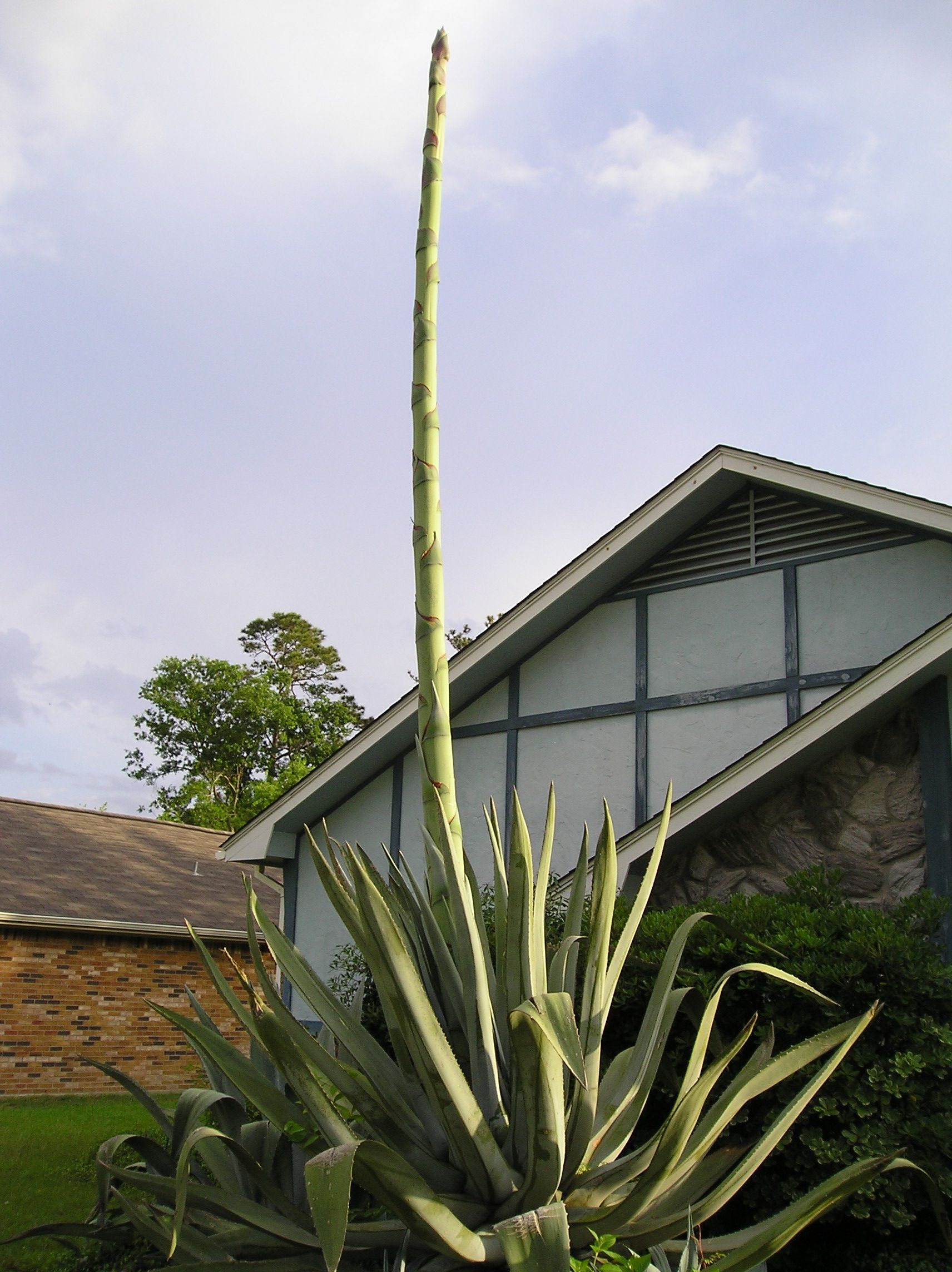 I Think The Desert Plants Look Like A Giant Asparagus Desert Plants Plants Landscape