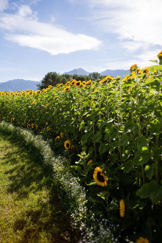 Sunflowers planted in giant horseshoe shape for ceremony. Fit 400 chairs for guests.  Planted 8000 seeds, a variety of 8 different sunflowers all different heights from 1' to 8'.