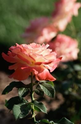 Do Rose Bushes Like Coffee Grounds Planting Rose Bushes Planting Roses Blooming Rose