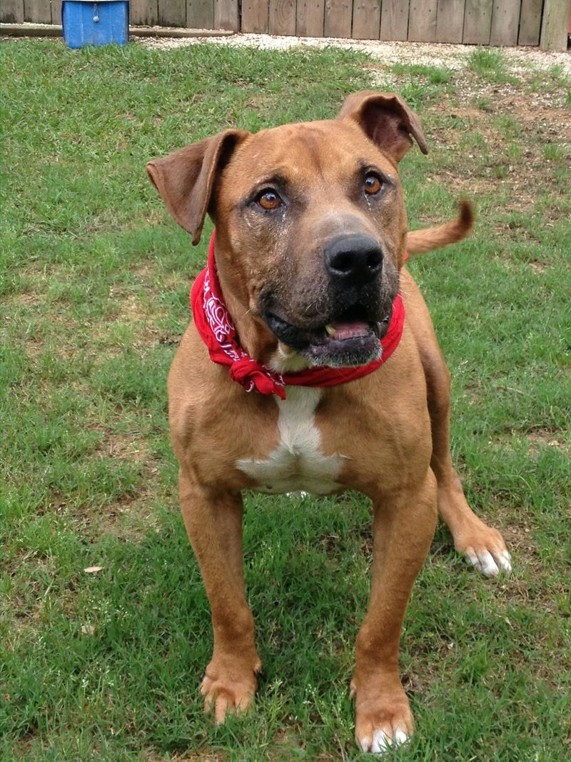 Adopt Leroy Brown on Let's Help to Adopt! 2 Boxer pit