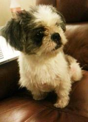 Adopt Hazel Harris On Shih Tzu Dog Shih Tzu Dogs