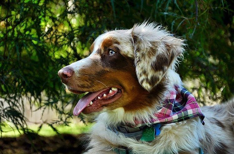 Have You Ever Met Anyone More Handsome Then Me Yup Didn T Think So Tag Wigglebutt Central And Use The Hashtag Aussie Puppies Australian Shepherd Dogs