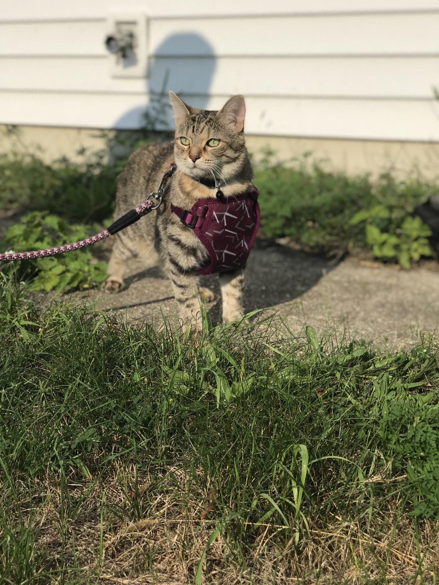 My Cat Nebs Being A Model While We Took A Walk Outside Today Meow Moe Cats Kittens Cutest Cute Cats