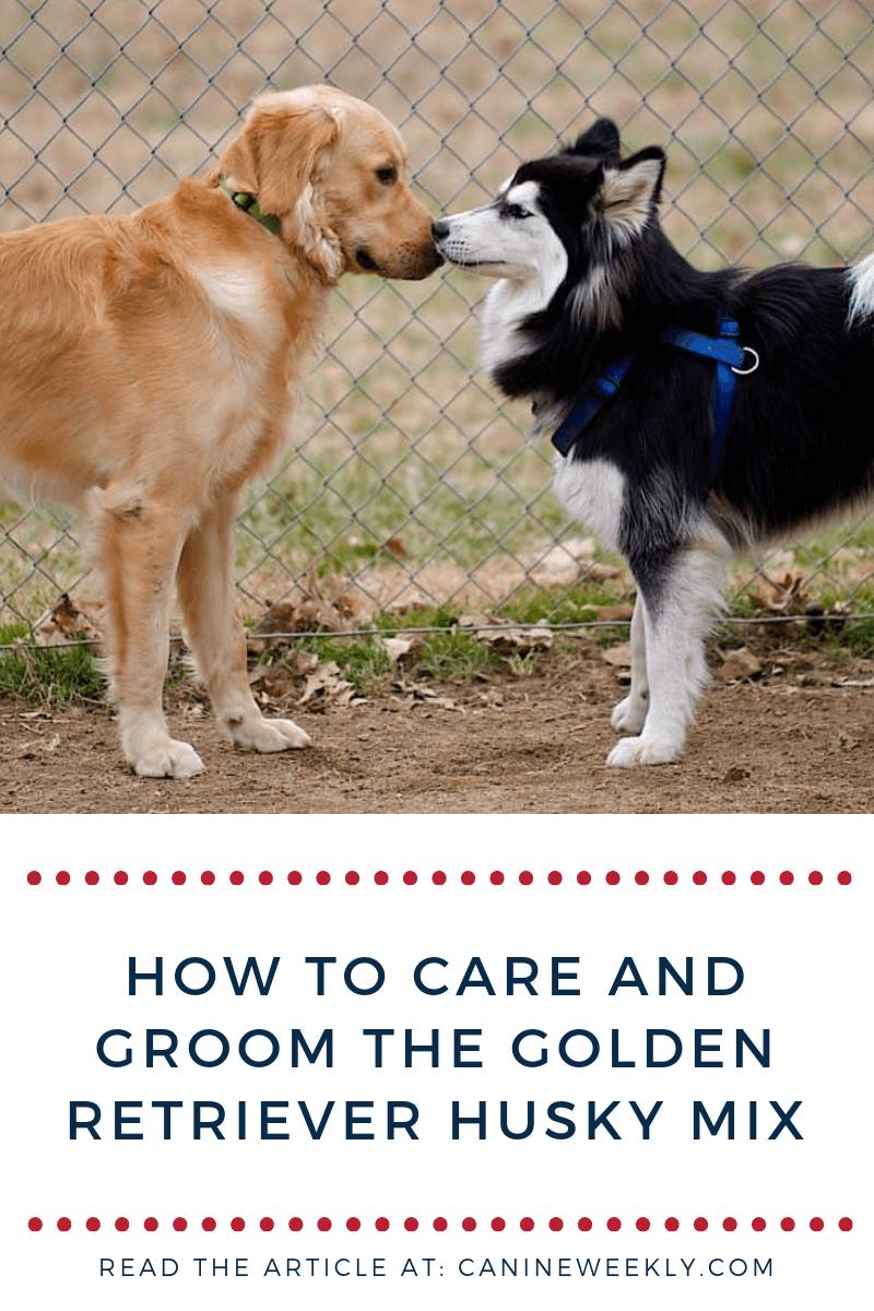 Golden Retriever Husky Mix Getting To Know The Goberian Golden