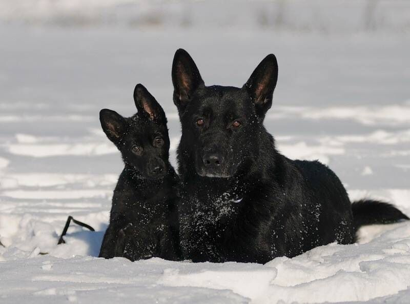 German Shepherds In The Snow Canid Get A Witness German Shepherd