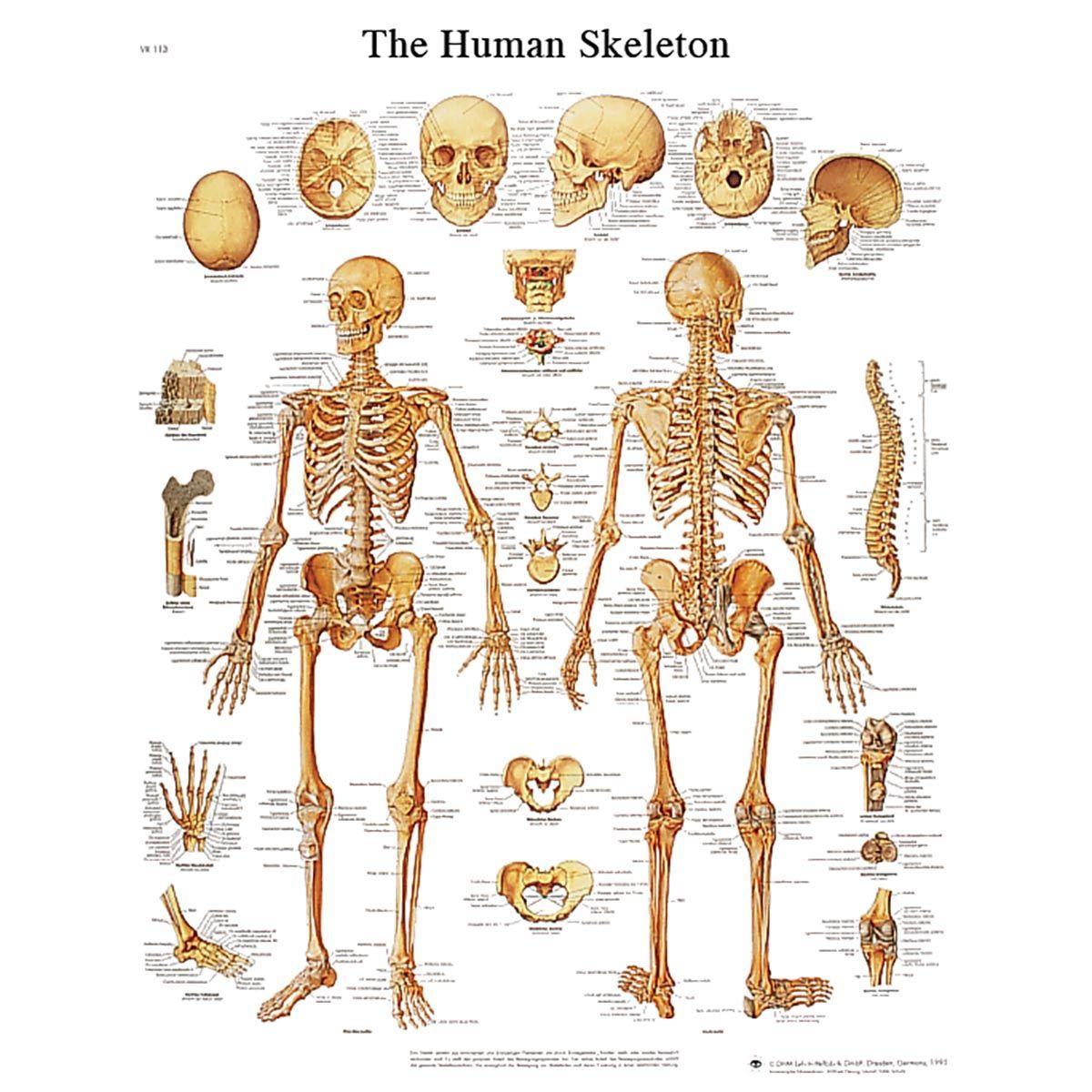 Bone Model Labeled Bing Images Biology Pinterest Human