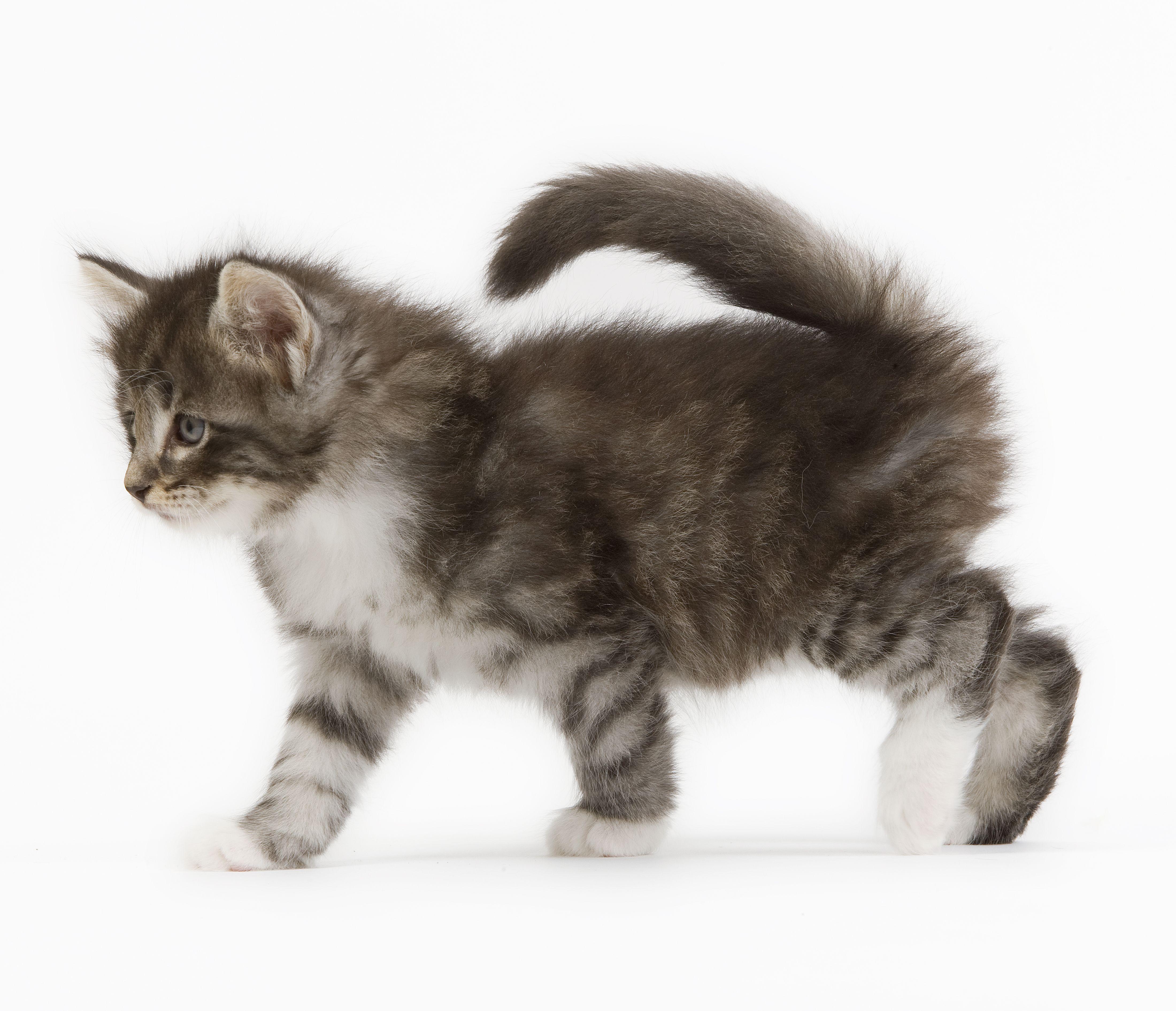 Le #chaton #Norvégien