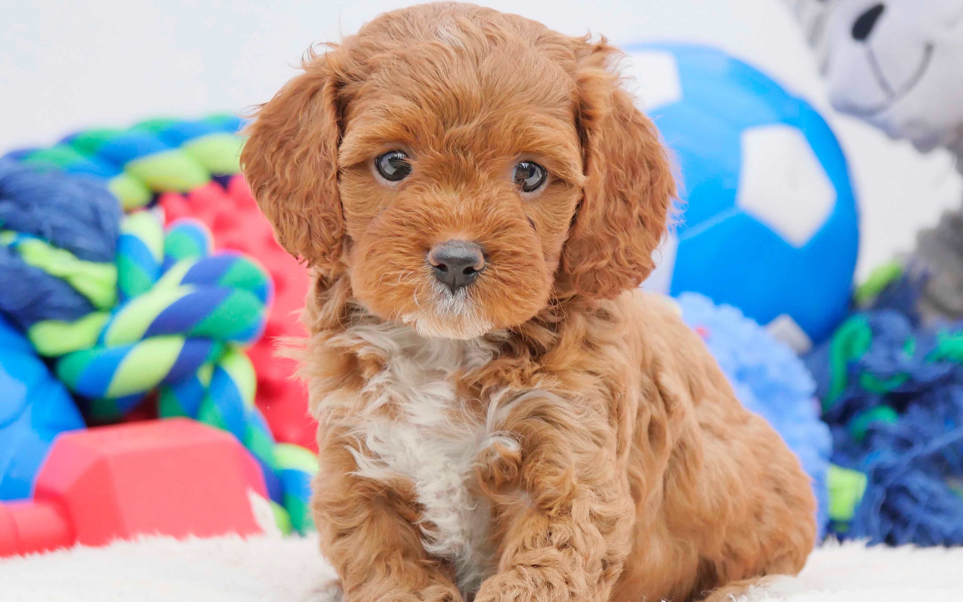 Best Quality Puppy Food Optimum Grain Free Pet Food Reviews Australia How Often How Much To Feed Meisterhunde Rottweile In 2020 Brown Puppies Cute Animals Small Dogs
