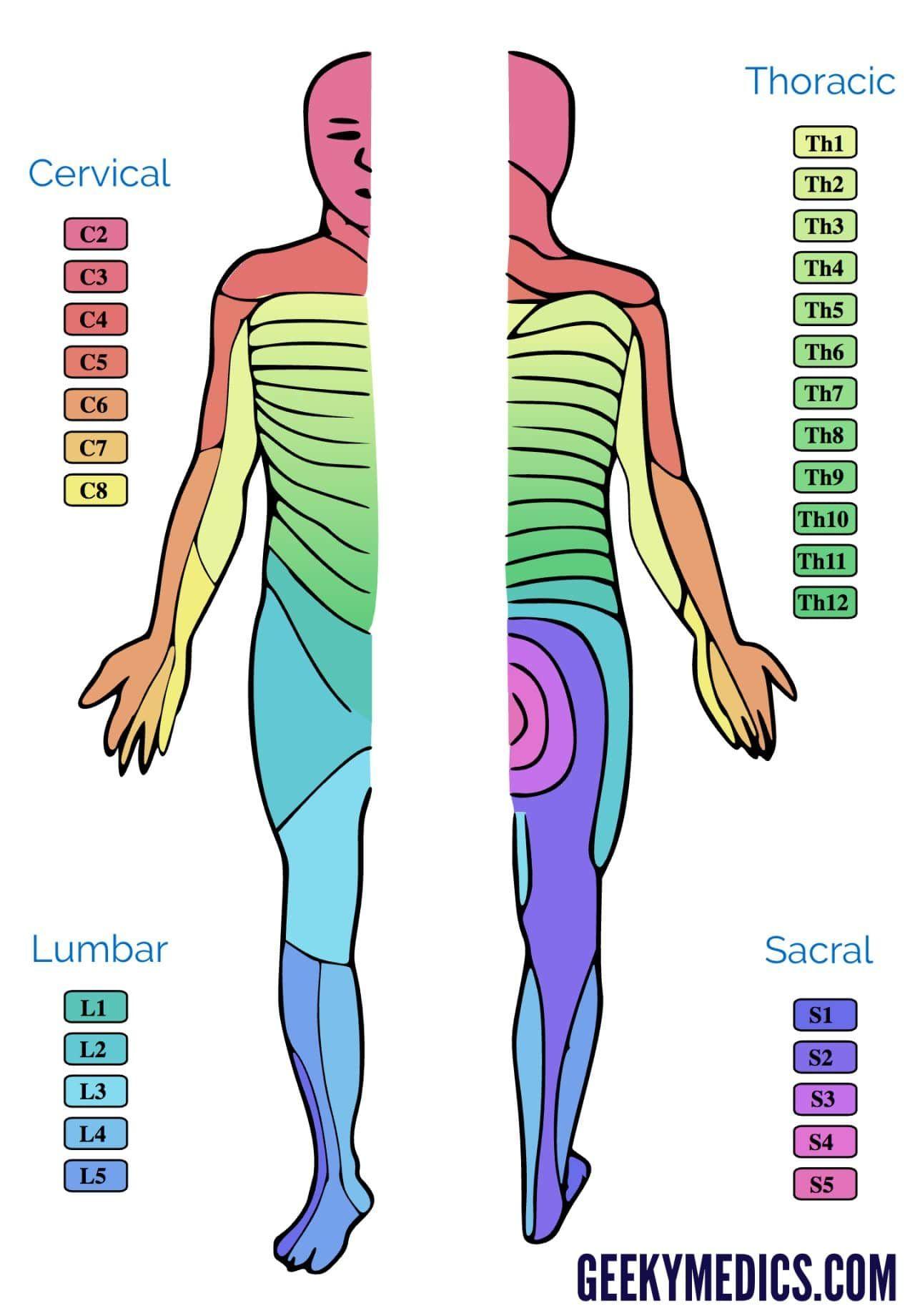 Dermatomes and Myotomes Emergency medicine, Spinal nerve