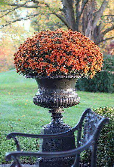 #Crisântemos: Depois que as flores morrerem, corte-as em aproximadamente 15 centímetros do nível do solo. Depois as transplante para um vaso grande ou para um canteiro. Sempre regando bastante.