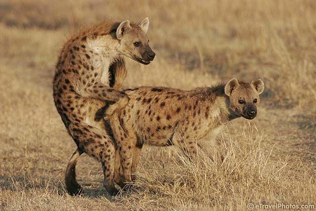Hyena mating video