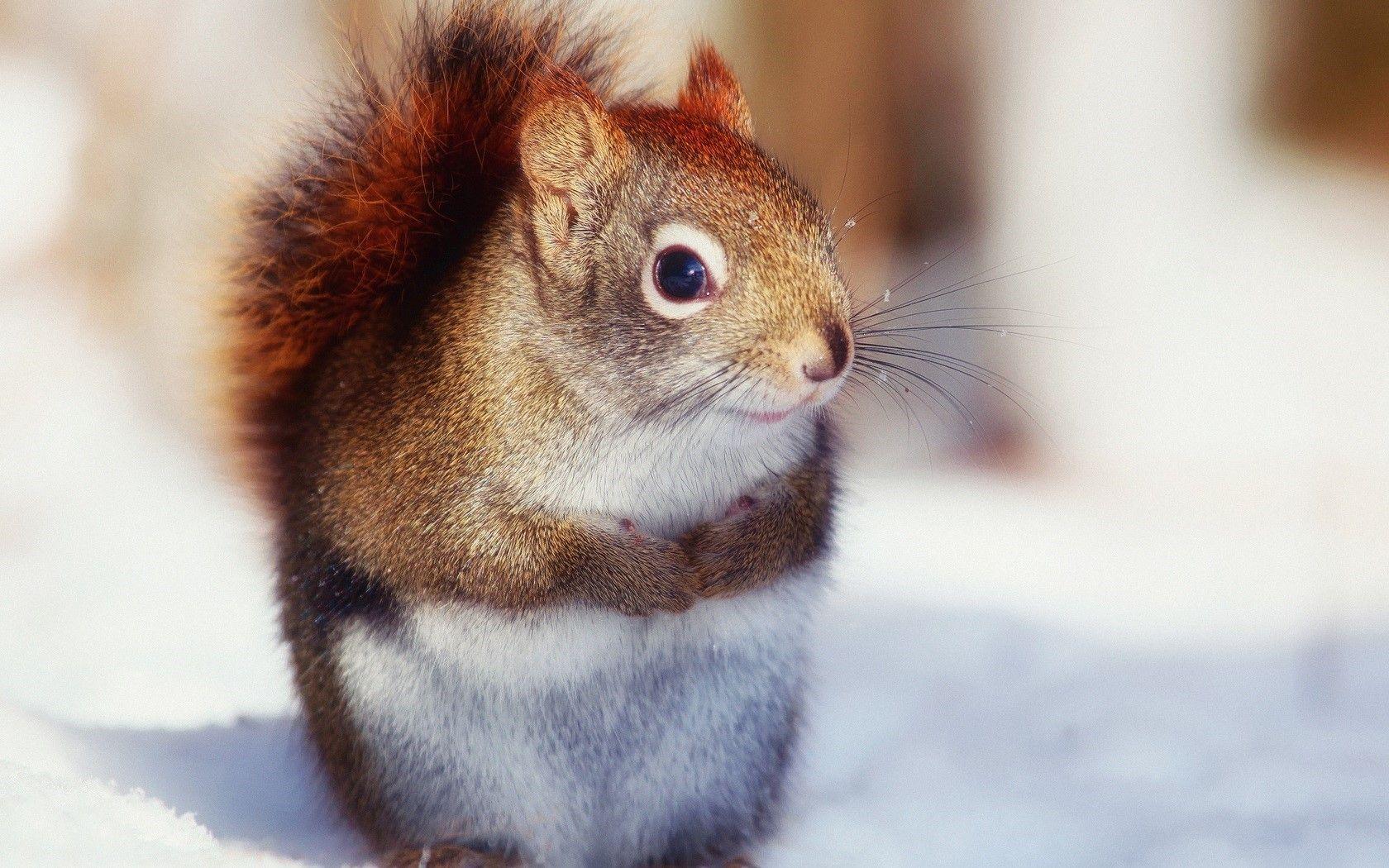 Cute Nice Squirrel Wallpaper Free Download Animal wallpaper