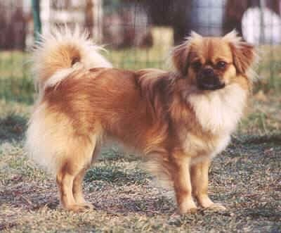 Tibetan Spaniel Tibetan Spaniel Dog Breeds Pet Dogs Puppies