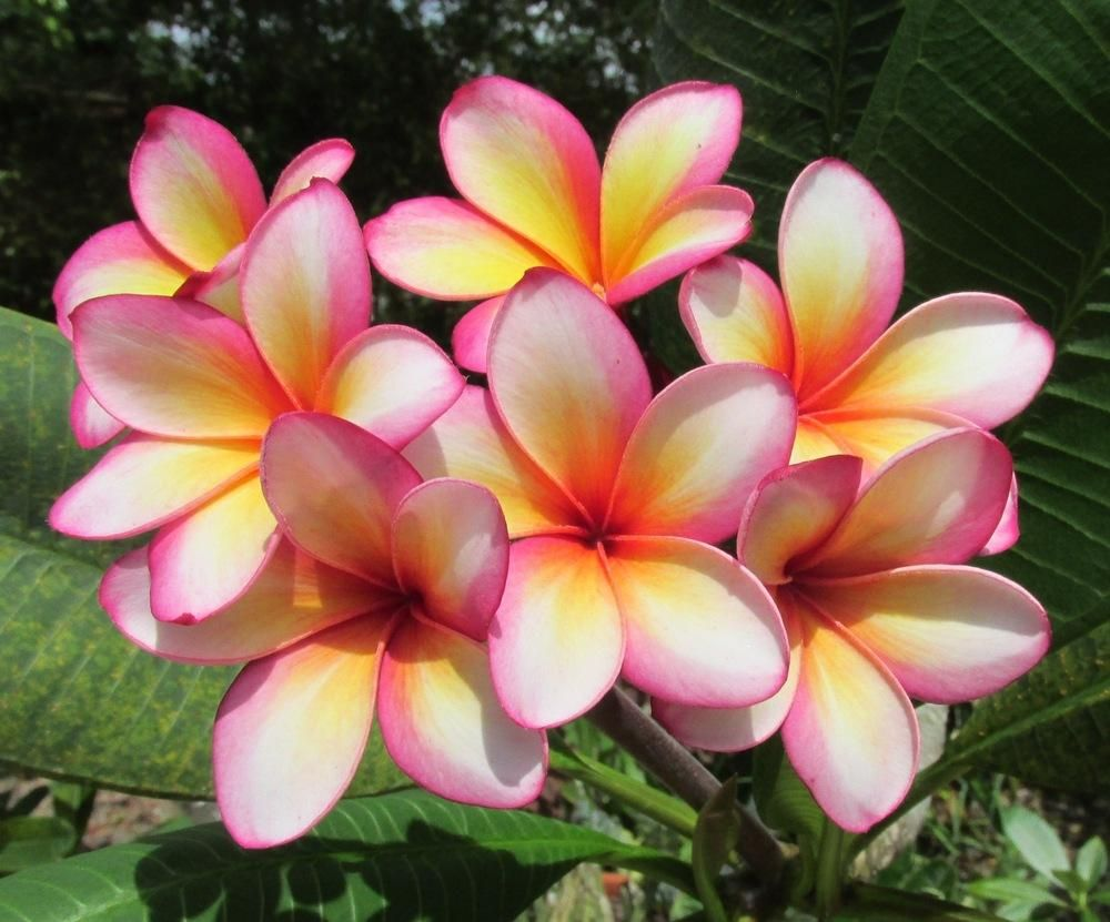 Plumerias Plant Care And Collection Of Varieties Garden Org Plumeria Winter Plants Flower Pot Design
