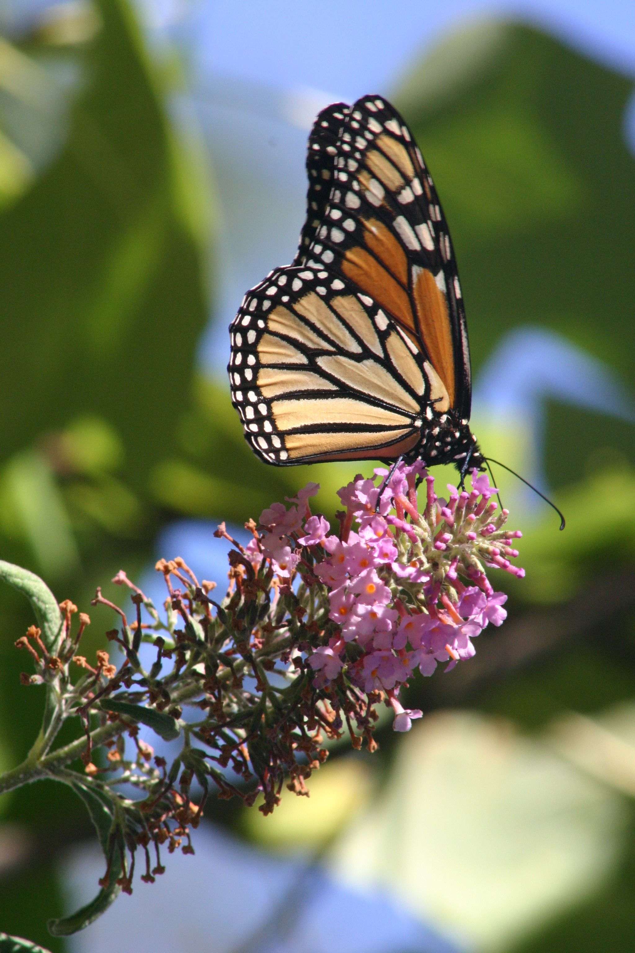Monarch Butterfly September 10