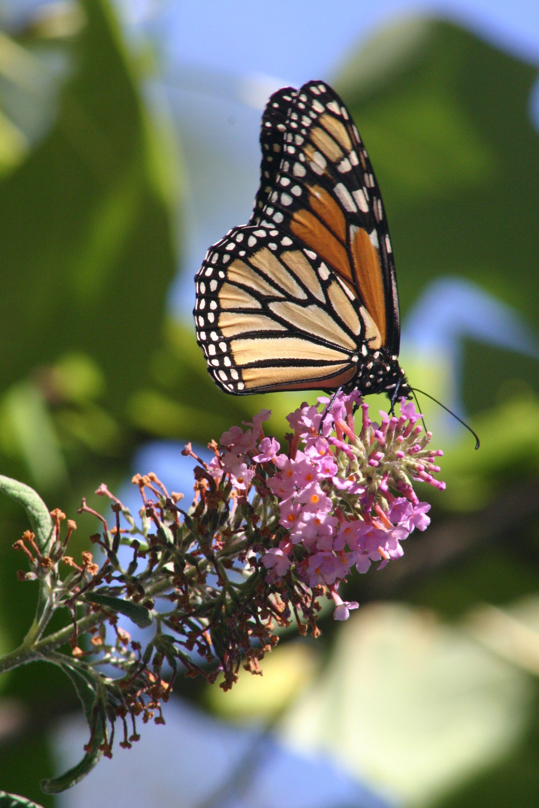 Monarch Butterfly September 10