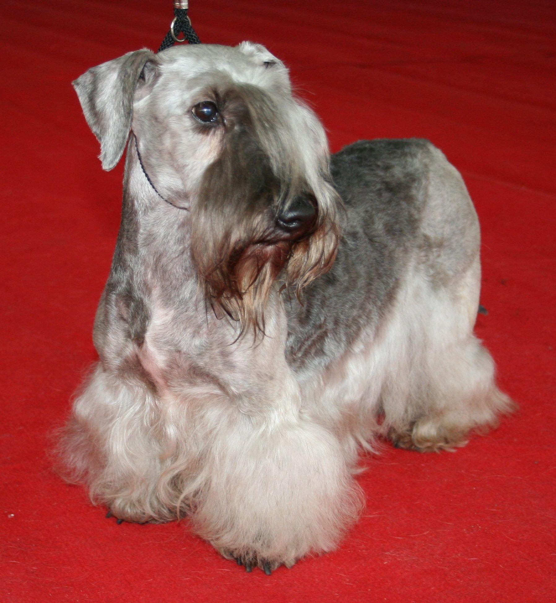 Czech Terrier: breed description, character, standard 60