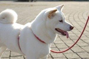 White Shiba Inu Puppy Cute Puppies Shiba Inu Shiba Inu Dog Japanese Dogs