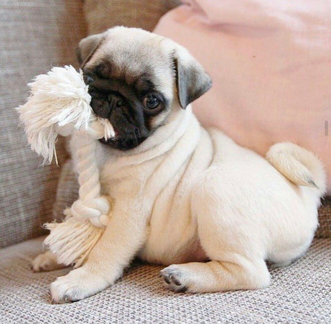 Pin By Marybell World On Happy Family Baby Pugs Cute Baby Pugs