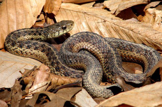 Eastern Gartersnake Nature Kids Snake Eastern