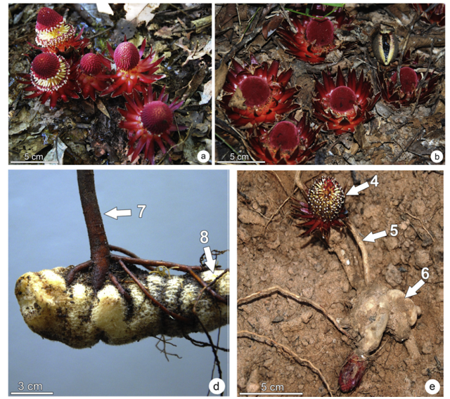 Parasite of the Day: Langsdorffia hypogaea