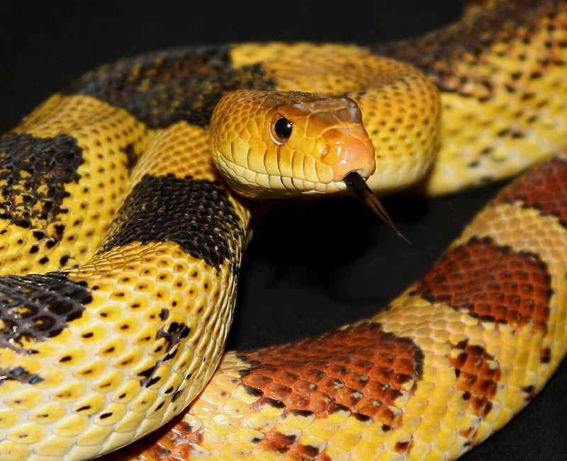 Mexican Pine Snake Cincoatl Corn Snake Pine Snake Corn Snake Cute Reptiles