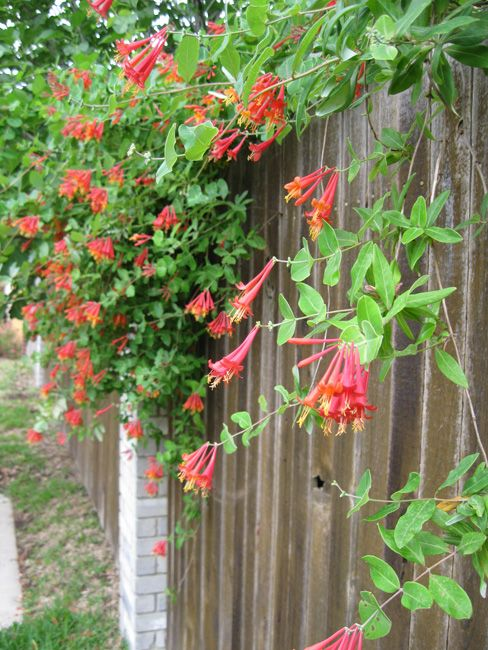 Plant coral honeysuckle instead of the invasive Japanese honeysuckle. This Texas native is well-behaved and non-aggressive.