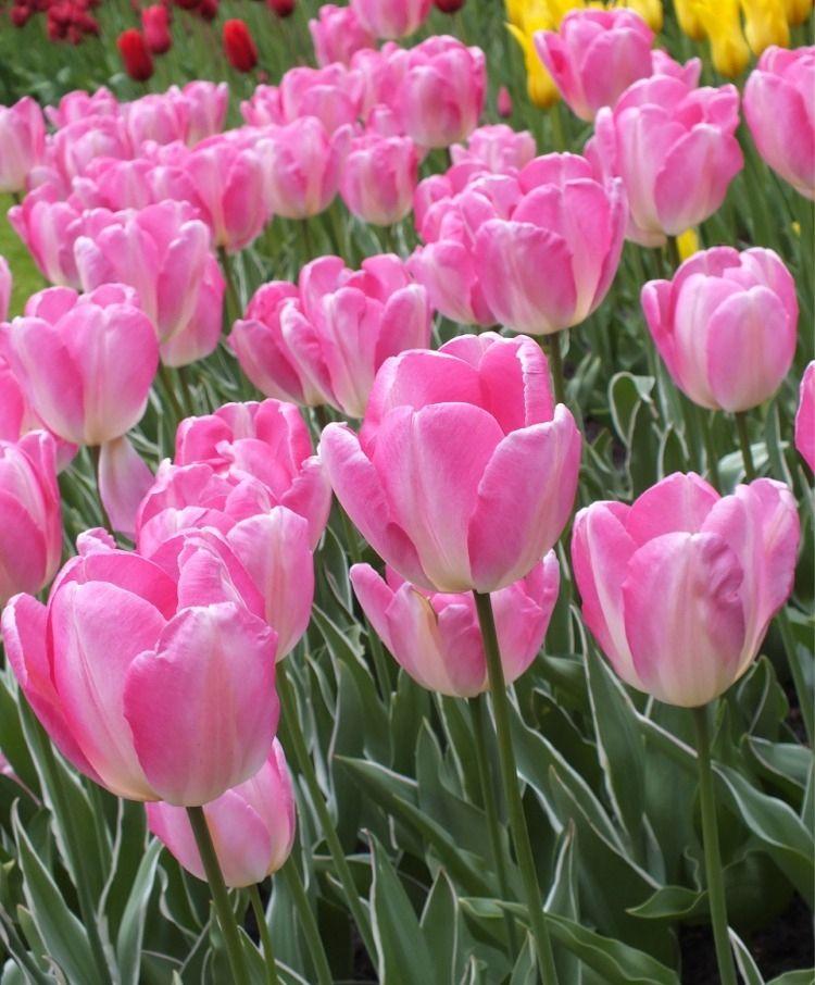 Tulip New Design Triumph Tulips Tulips Fall 2015 Flower Bulbs In 2020 Bulb Flowers Tulips Flowers Beautiful Pink Flowers