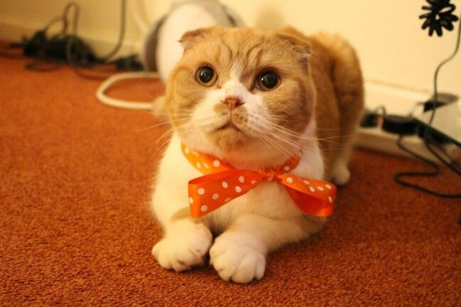 Scottie The Red White Scottish Fold Cat With Images Cat