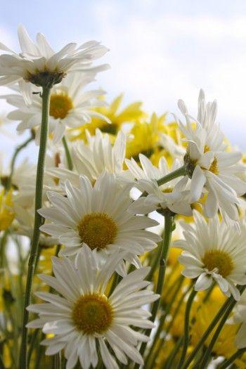 Beautiful spring daisies  :)