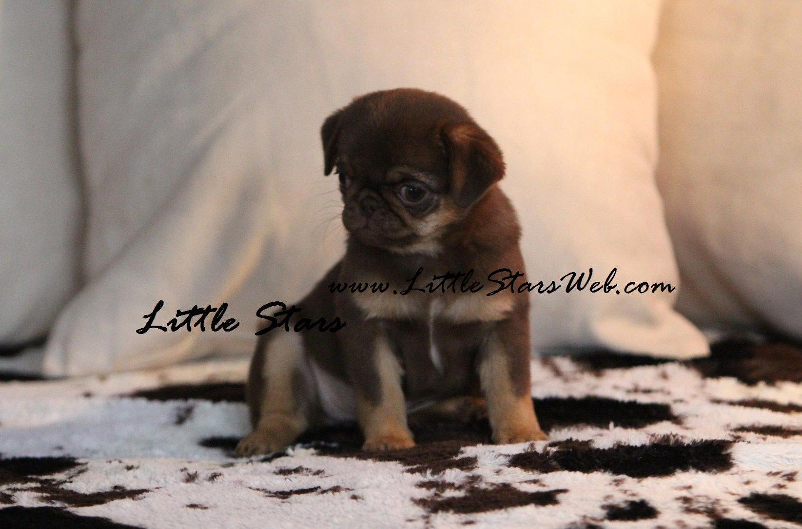 Black And Tan Pug Little Stars Breed Of Pugs And French