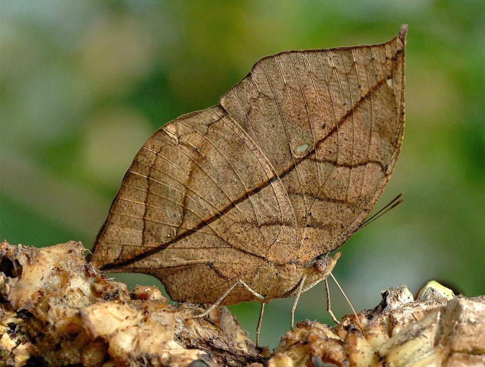 leaf butterfly, dierlijke camouflage is genetisch bepaald ...
