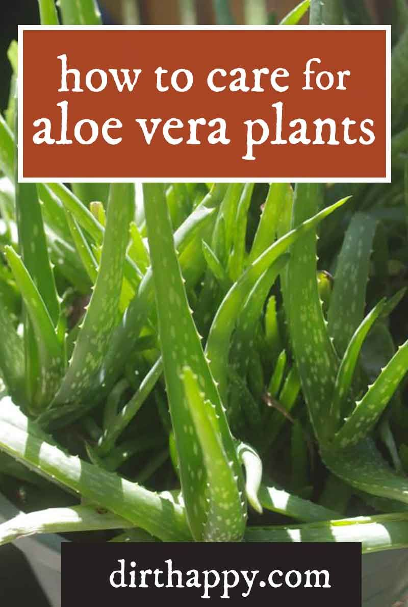 How To Take Care Of Aloe Vera Learn How To Grow And Take Care Of Aloe Vera Plants So You Can Harvest The Gel For Its Many Be Aloe Vera Plant Indoor Plant Care Instructions Growing Aloe Vera