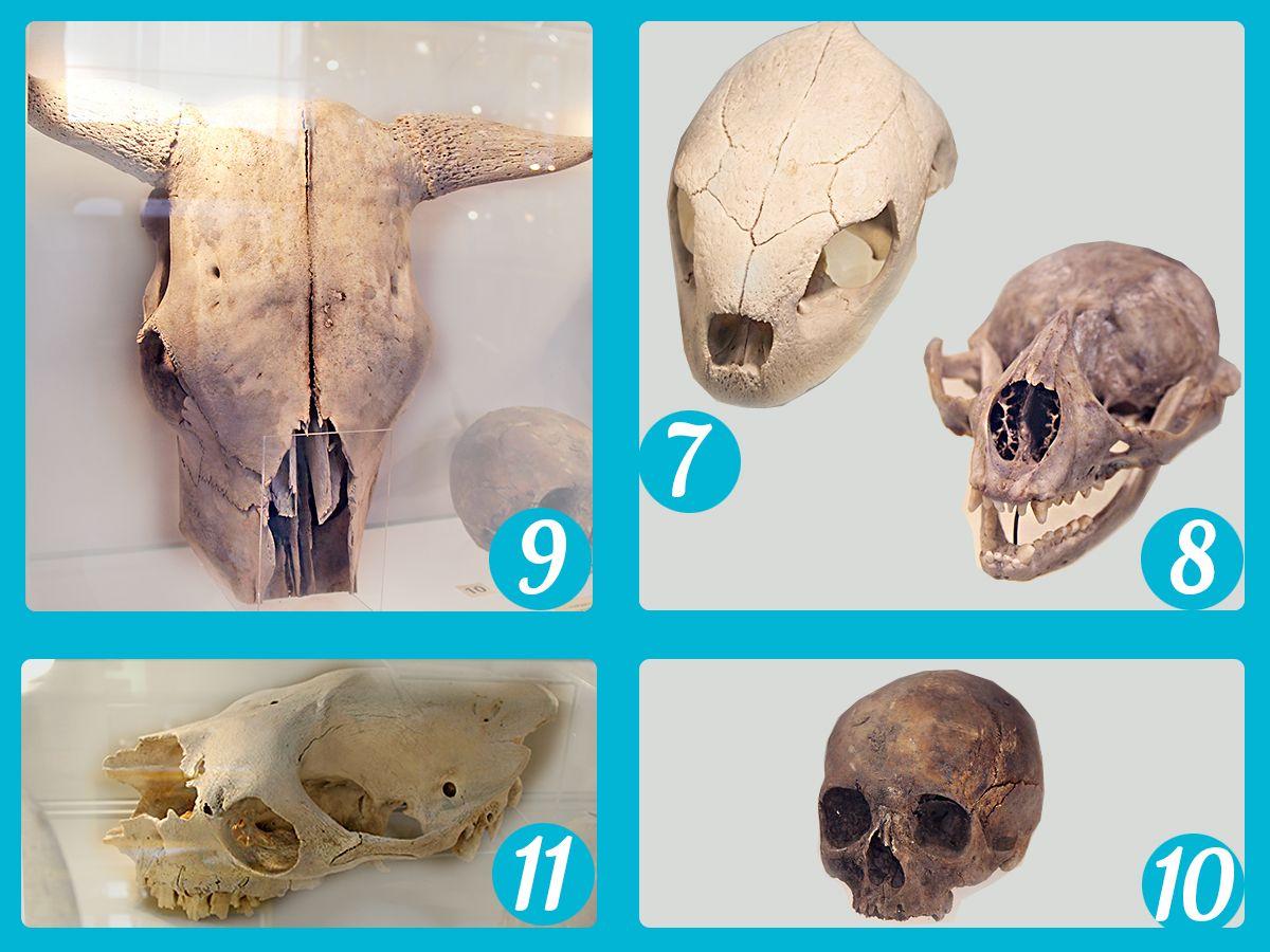 Попробуйте угадать, чьи это черепа. Часть 2