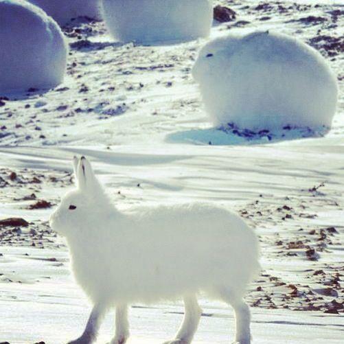 北極のウサギ