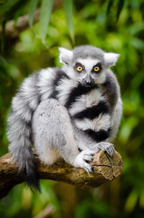 Ring Tailed Lemur By Mathias Rainforest Animals Animals Beautiful Animals Wild