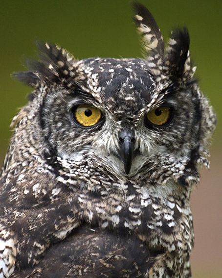 Scotland Piercing Eyes Of Owls And Amazing Birds Of Prey Owl Birds Owl Collection