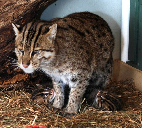 National Zoo Heralds Its First Fishing Cat Births! (With
