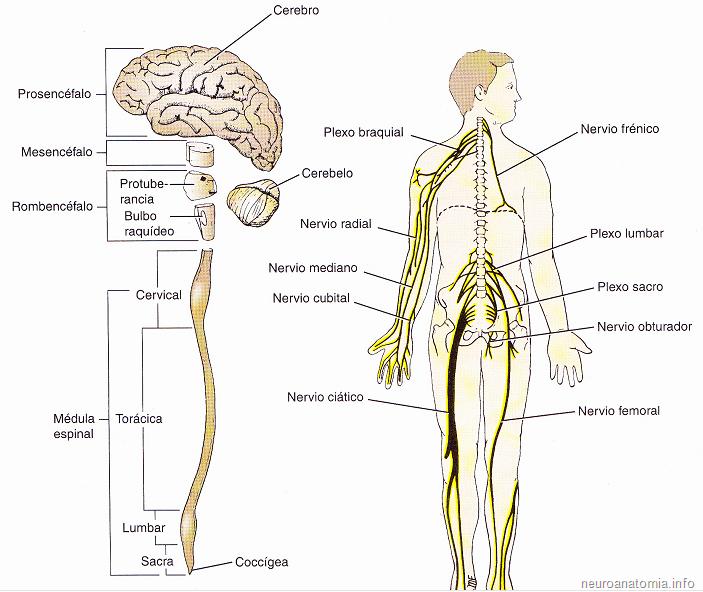 Resultado De Imagen Para Sistema Nervioso Central Y Periferico Sistema Nervioso Dibujo Del Sistema Nervioso Maqueta Del Sistema Nervioso