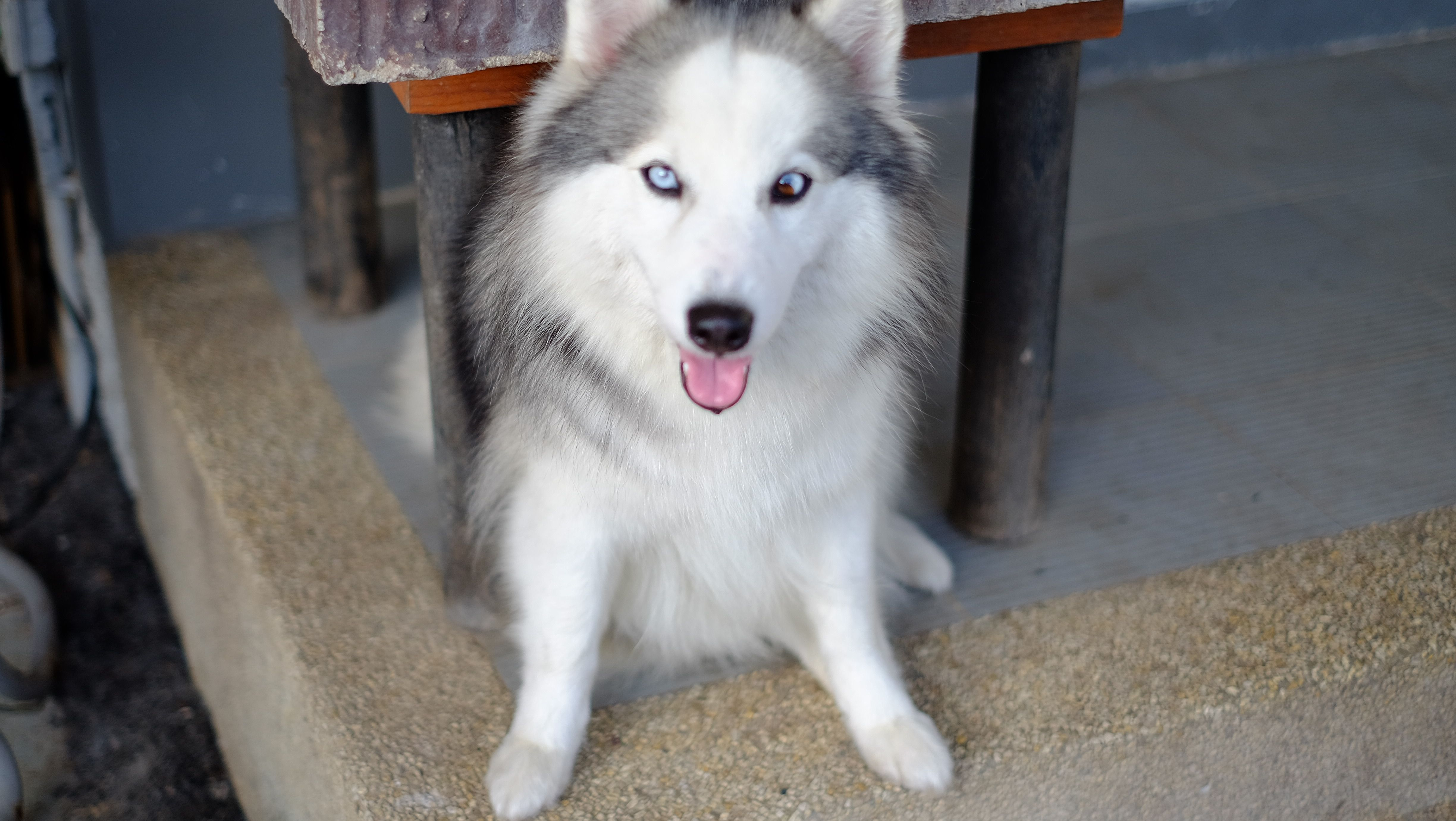 Siberian Husky Mix Japanese Spitz Dog Dog Pinterest Husky Mix