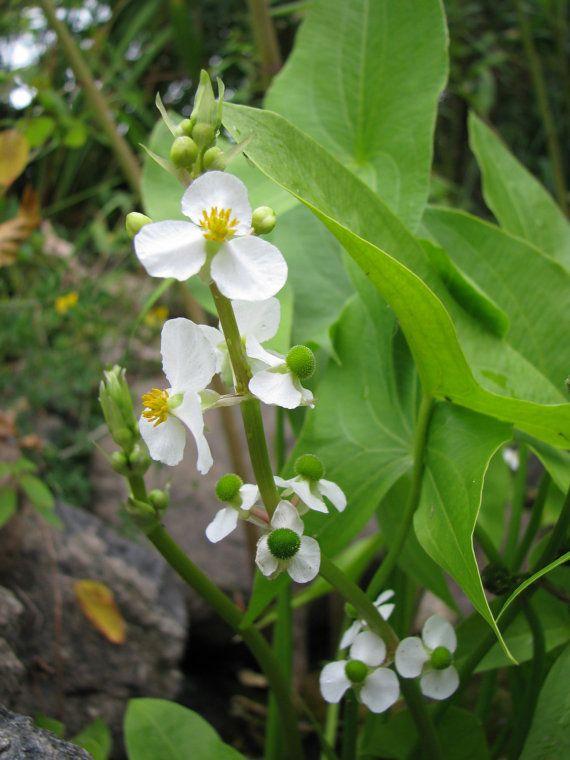 Native Pond Plants