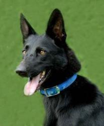Adopt Magic *Foster* on Black Malinois Malinois dog