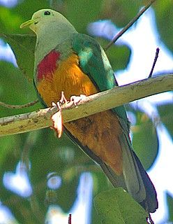 ... as is the Scarlet-breasted Fruit-Dove (Pete Morris)