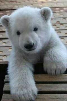 Polar bear cub cuteness. #adorable #animals