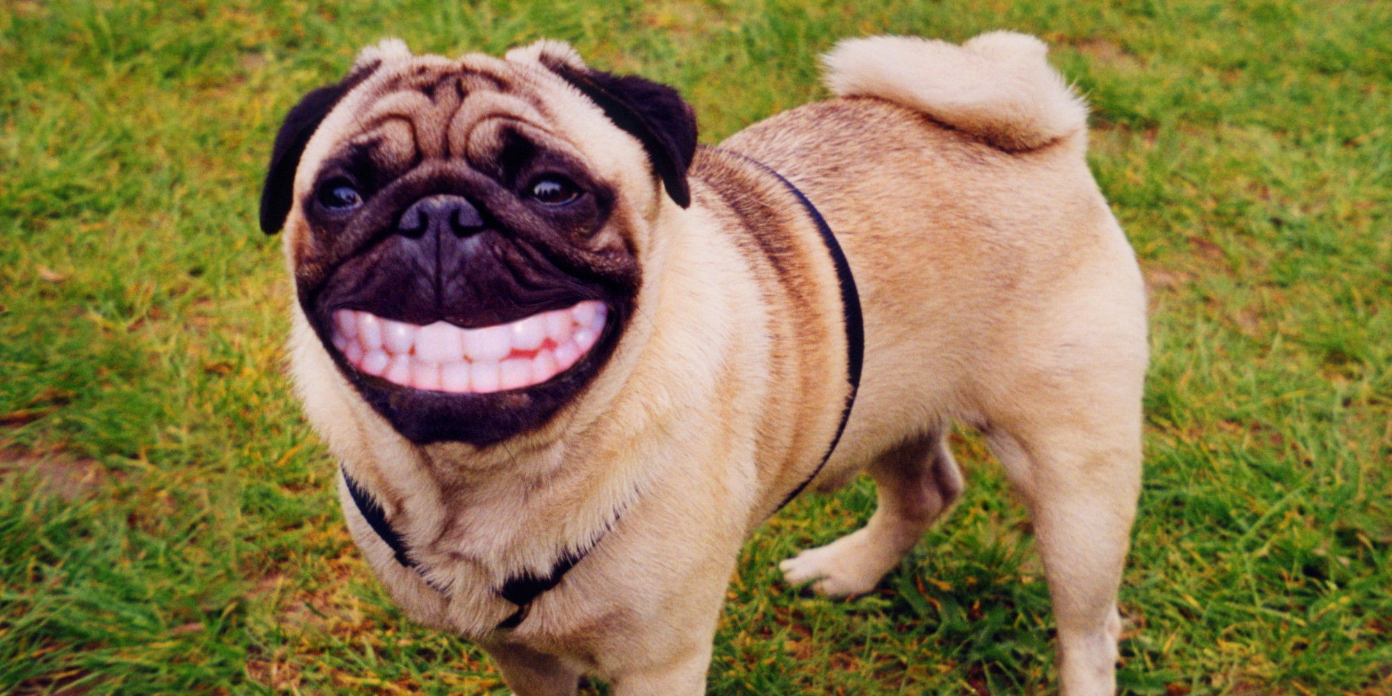 pug pooping dogs crazy pooping habits explained at last lol 3482