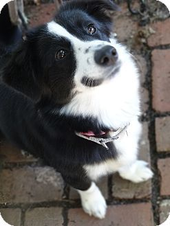 Dd 288 Bordigan Cardigan Welsh Corgi Border Collie