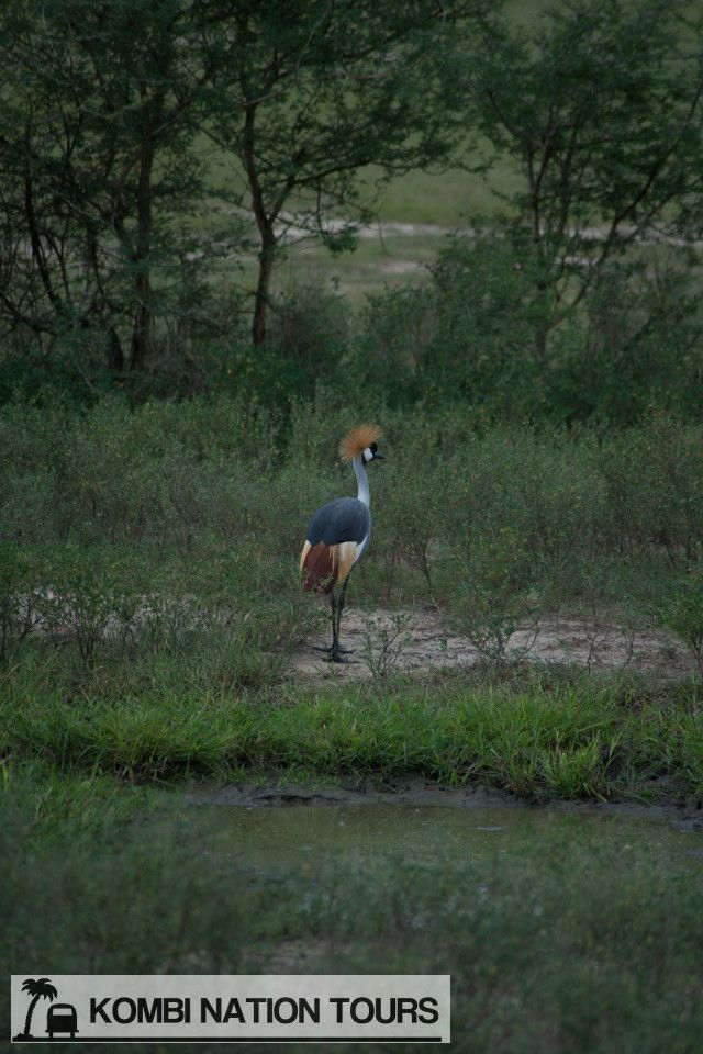 Grey crested crane. Uganda's national bird! For more information on Uganda's National Parks and Reserves, please visit our website.