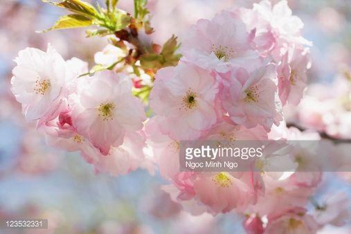 Pale Pink Shogetsu Cherry Blossom Shogetsu Cherry Blossom Blossom Pale Pink